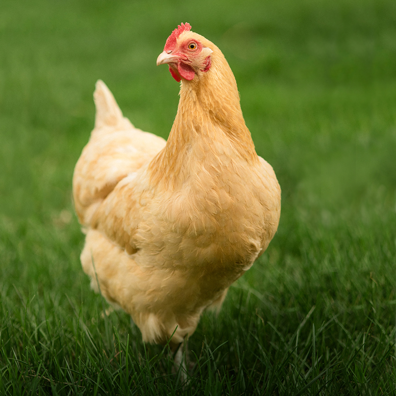 Buff Orpington Chicken